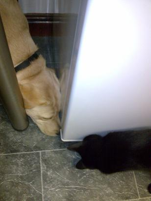 Snipe and Mac try to retrieve the biscuit from under the fridge - 6 October 2008